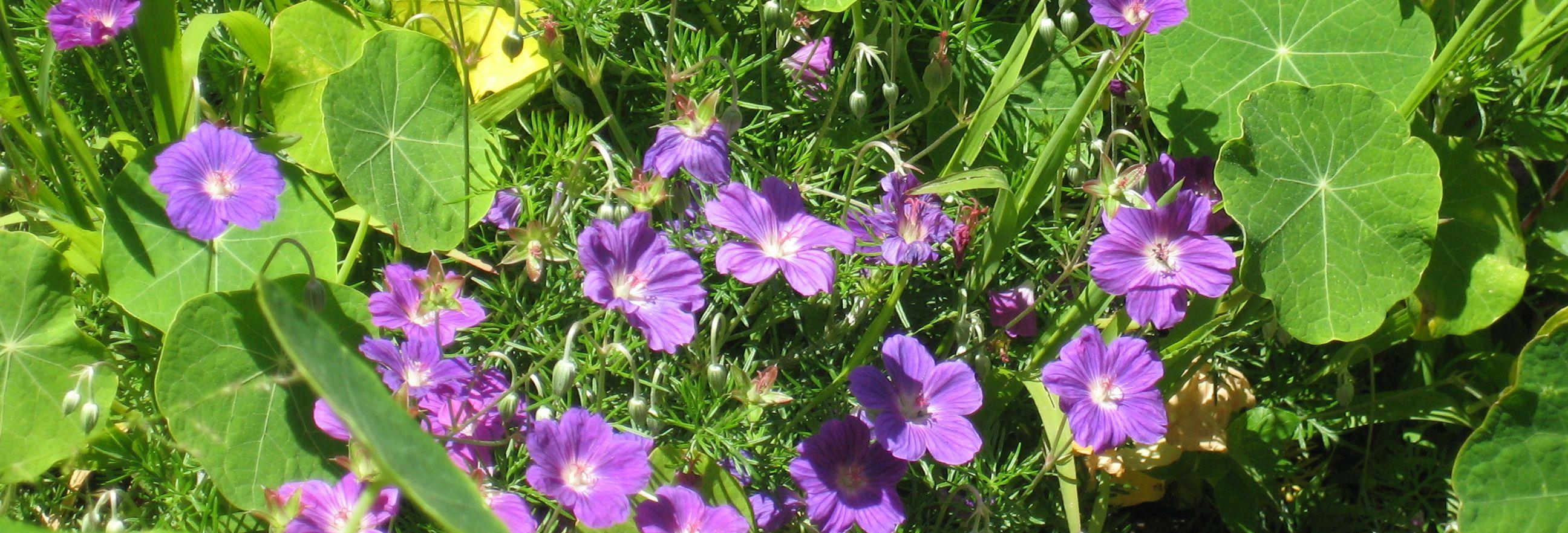 blue geraniums